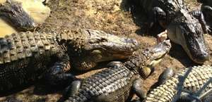 Gulf Coast Gator Ranch