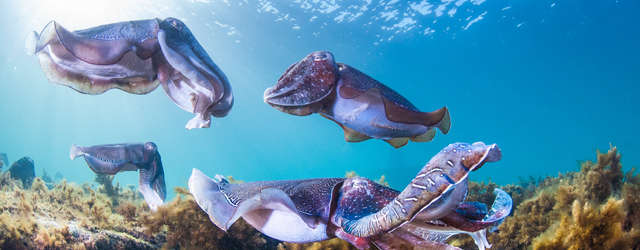 Whyalla Giant Cuttlefish