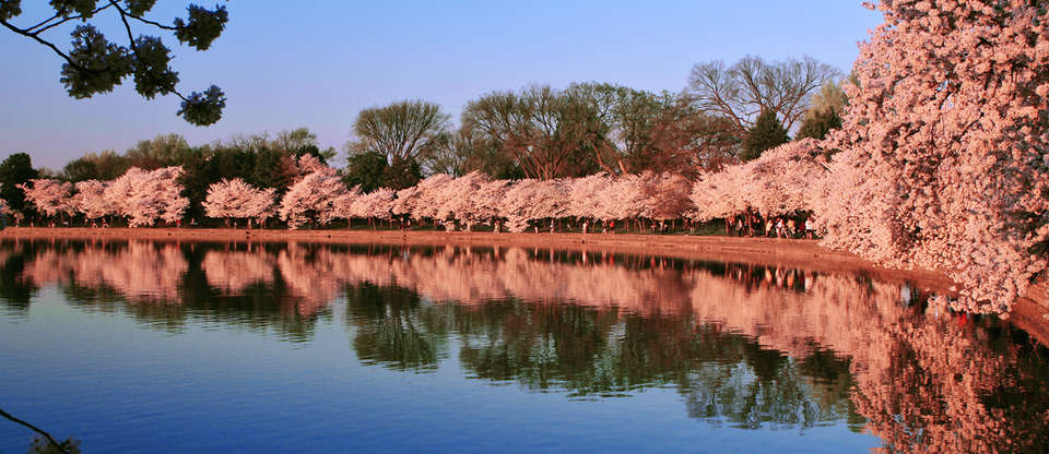 We've got all the best places to see D.C.'s cherry blossoms
