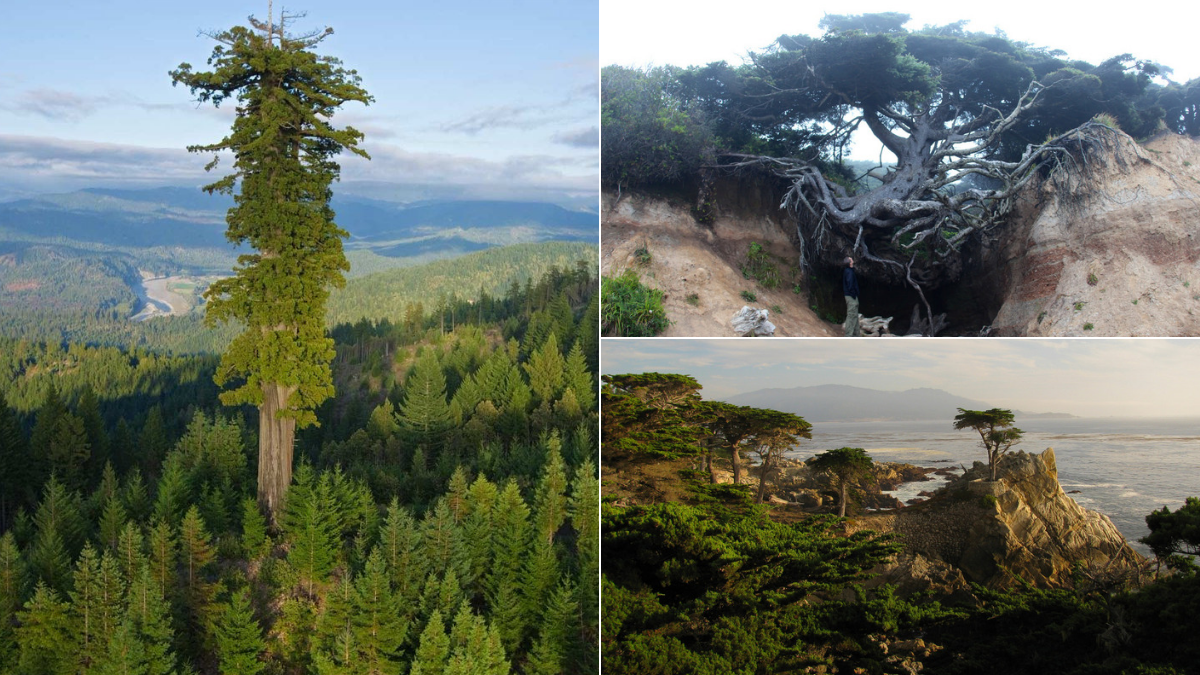 These are the most unbelievably amazing trees in all of America