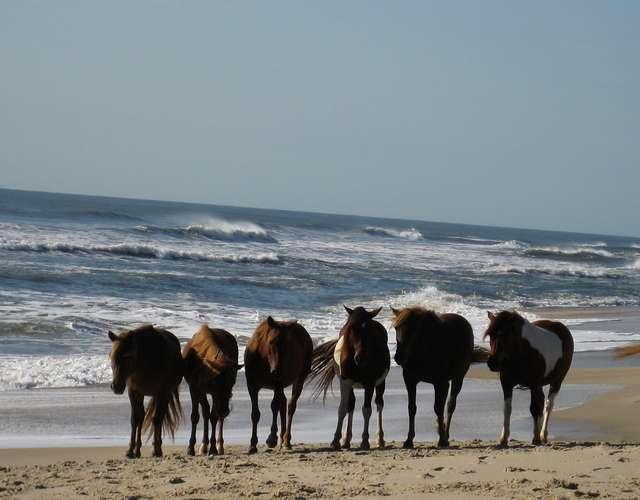 White sand & wild horses at Assateague Island Nat'l Seashore